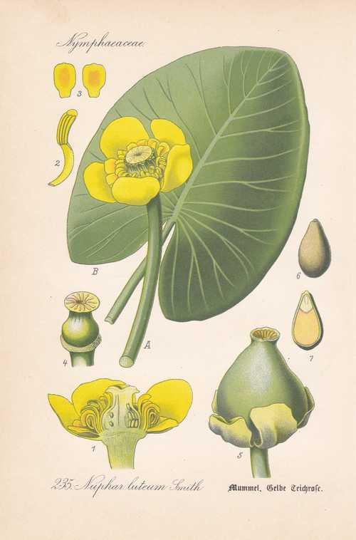 Nuphar lutea gelbe teichrose mummel thome lithographie for Gelbe tafeln
